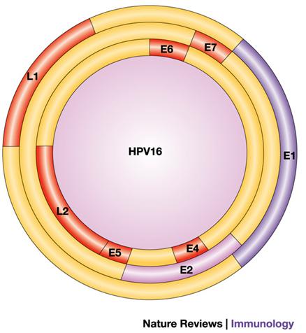 hpv virus a dna infecție cu difiltobotriază