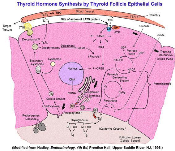 Anatomía y fisiología de la glándula tiroides | Eurocytology