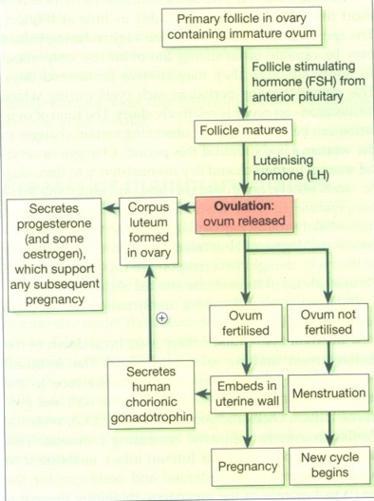 El tracto genital femenino   Eurocytology